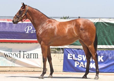 Lot 583,Snitzel x Francophile_13-01-2013_GEN_MM Yearling Sales Gold Coast__261 - Copy